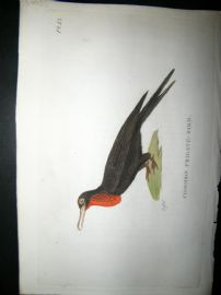 Shaw C1800's Antique Hand Col Bird Print. Common Frigate Bird